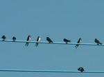 電線に止まる燕たち・・ヒナが多い
