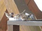 餌に群がる雀たち