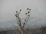 木に止まる椋鳥