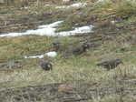 餌を啄ばむ椋鳥
