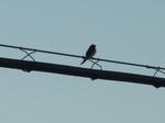 4月8日電線に止まって鳴く燕