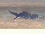 巣作りする燕