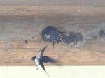 巣作りに励む燕