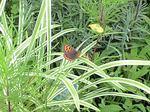小さなシジミ蝶
